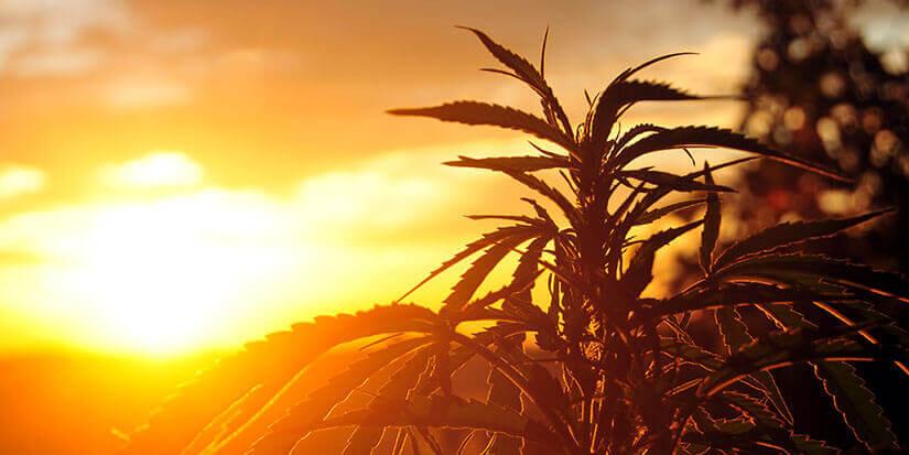 Die Geschmackswahrnehmung von Cannabis im Vaporizer